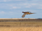 Flying Rooster Pheasant over the prairie