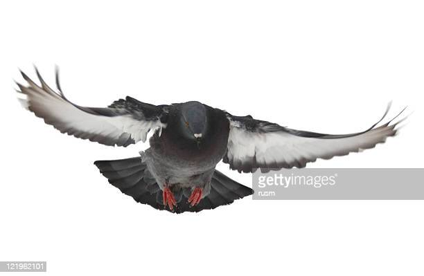 Flying pigeon on white background