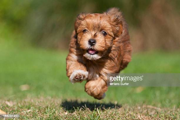 A flying red Havanese puppy of 7 weeks!
