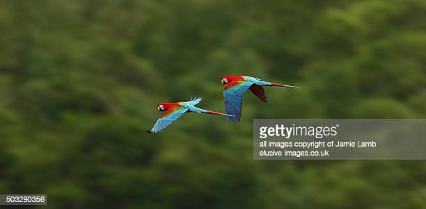 Flying Scarlet Macaw , Bolivian Amazon