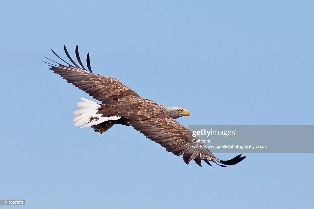 Flying sea eagle
