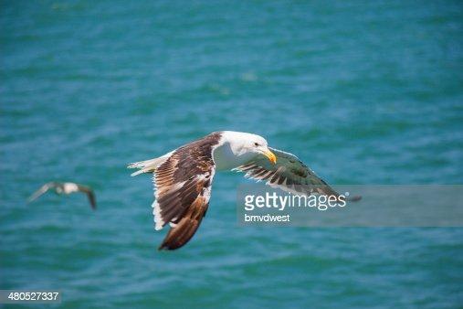 Gabbiano volare sopra il mare : Foto stock