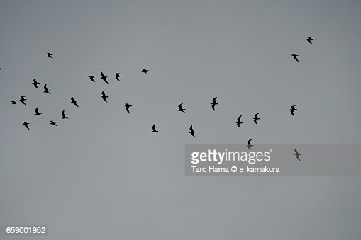 Flying seagulls in the grey sky : ストックフォト