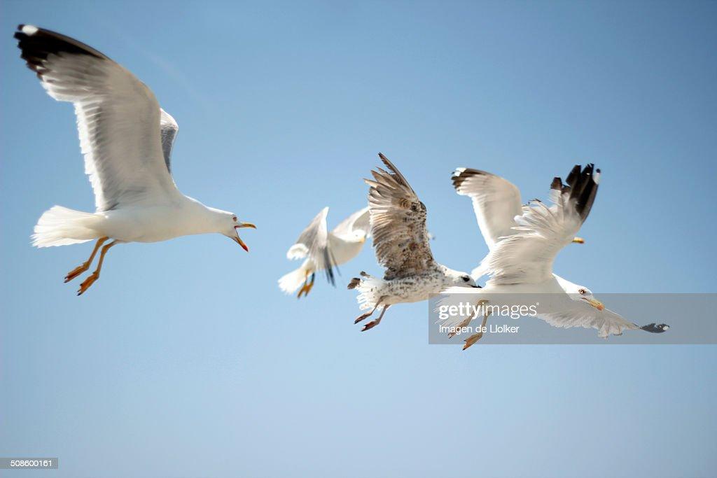 Flying seagulls : Foto de stock