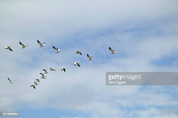 Flying Snow Geese in Formation