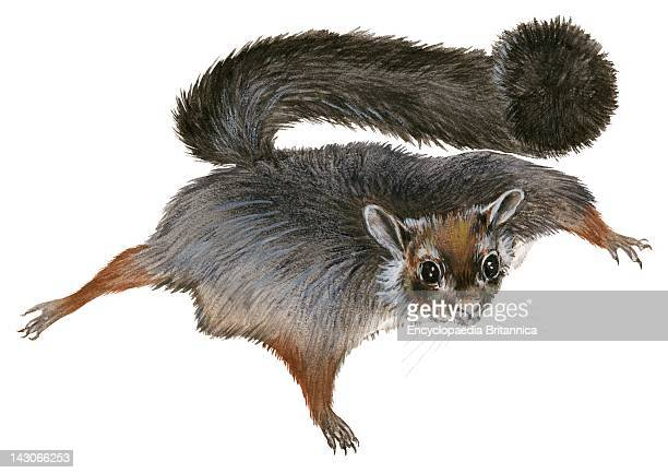 Flying Squirrel Oriental Giant Flying Squirrel