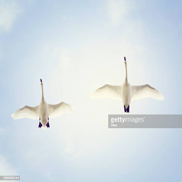 Flying swans from below