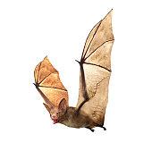 Flying Vampire bat isolated on white background, 3D rendering