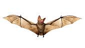 Flying Vampire bat isolated on white background, 3D rendring