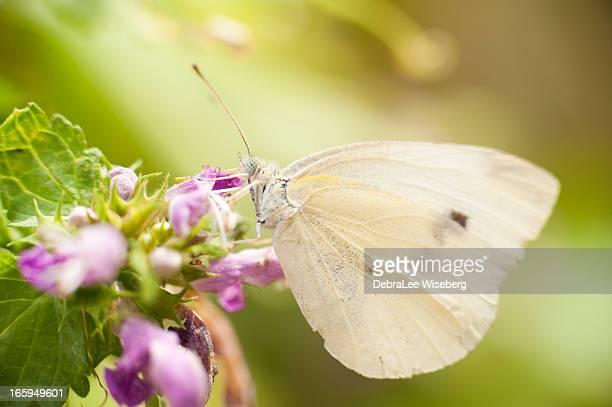 Flying White Beauty