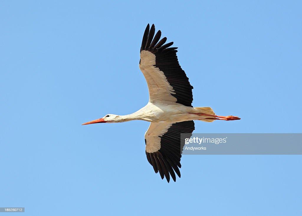 Flying White Stork : Stock Photo