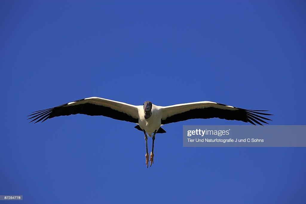 Flying wood stork : Stock Photo