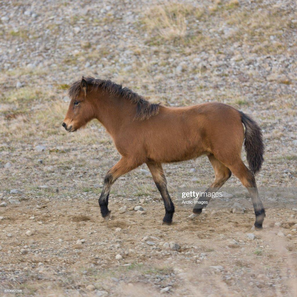 Foal at the Annual Horse Round Up-Laufskalarett, Skagafjordur, Iceland