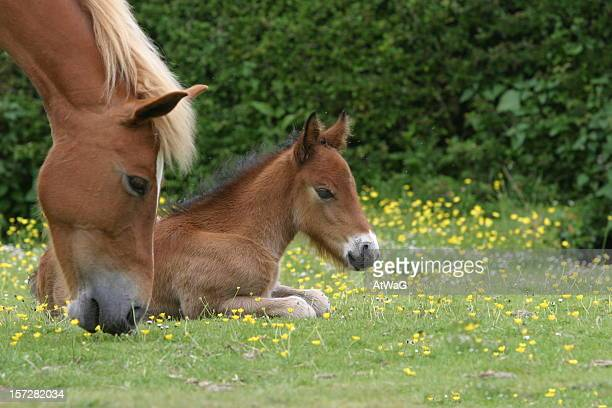Foal lying down while dam grazes in grassy field