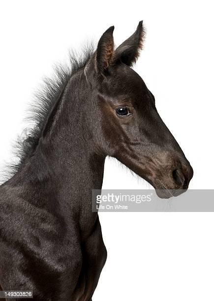 Foal (1 week old)