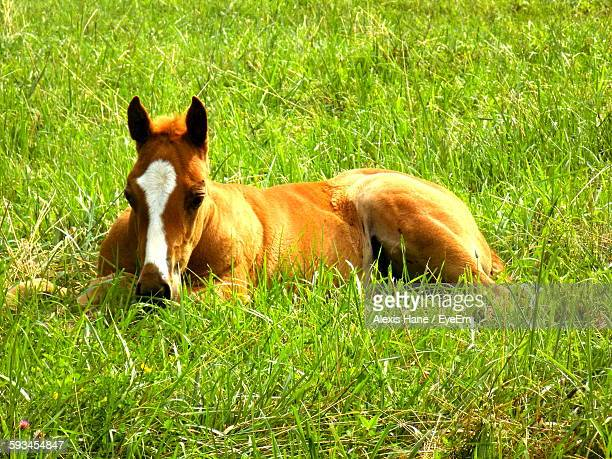 Foal Relaxing On Grassy Field