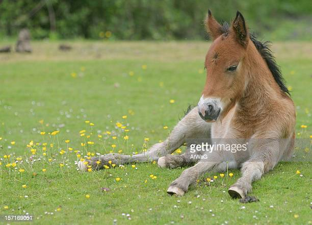 Foal relaxing
