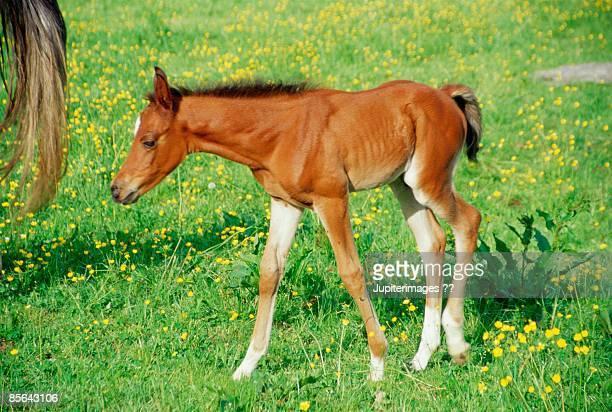 Foal standing in pasture