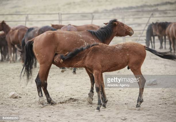 A foal suckles from a mare at a horse sanctuary centre in Karadag district of Karaman Turkey on September 20 2017 Horses are being captured within...