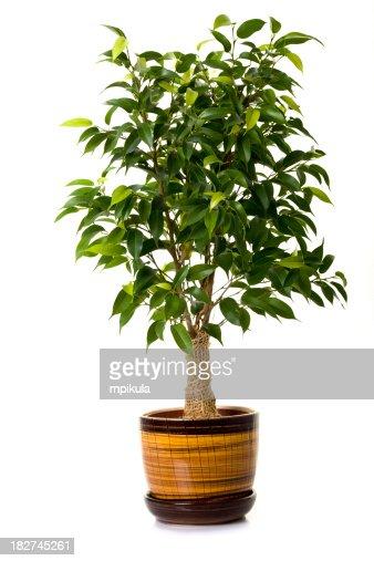 Focus tree in flowerpot on white background