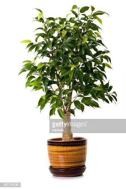 Focus tree in flowerpot on white background