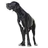 Alert great dane standing isolated on white and looking away - full-length
