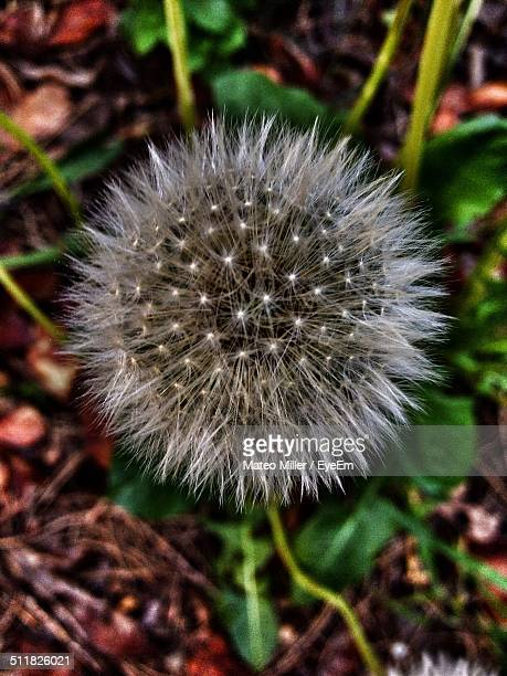 Focused picture of a blossoming dandelion flower head