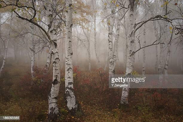 Fog and silver birch