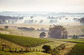Fog over the vineyards at sunrise