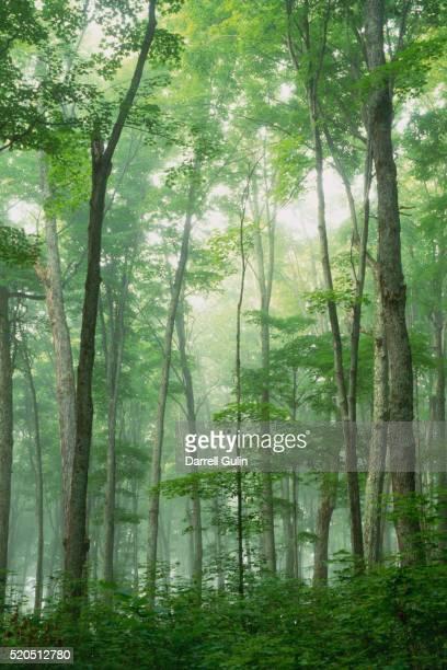 Fog Rising in Grove of Maple Trees