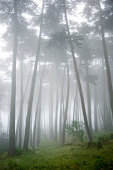 USA, California, San Francisco, The Presidio, Fog surrounding Cypress trees in forest