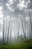 USA, California, San Francisco, The Presidio, Fog surrounding Cypress trees in forest