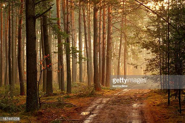 Foggy forest and sun rays