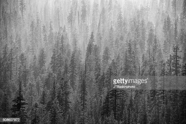 Foggy Forest Scene in Black and White