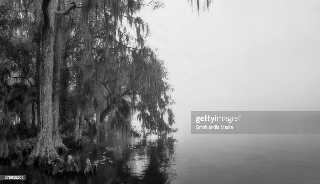 Foggy morning, foggy lake - Taxodium distichum