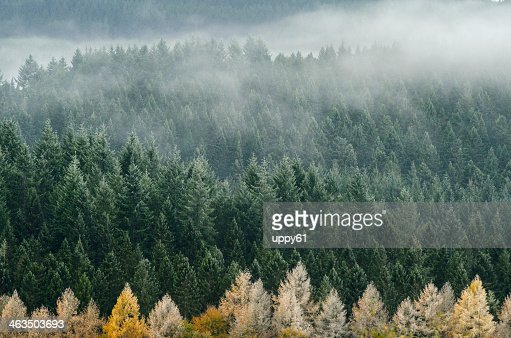 Foggy pines at the Cairngorms National Park begin to dry  : Stock Photo