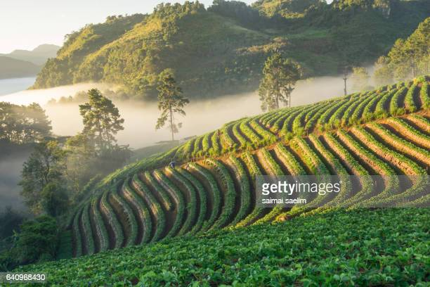 Foggy scene in the morning at strawberry field, Doi Angkhang, Chiangmai.