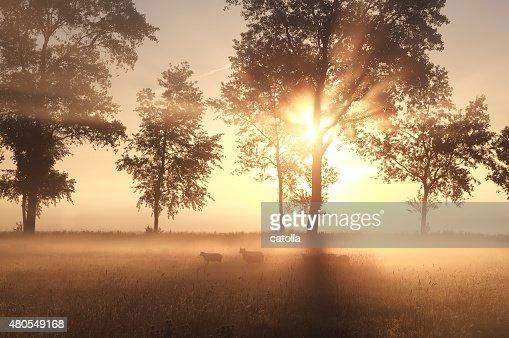 Niebla sunrise on pasture con ovejas : Foto de stock