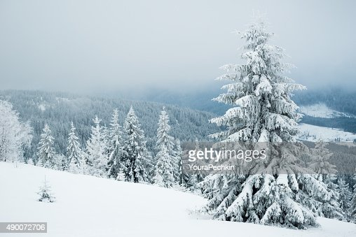 Foggy winter fir in the mountains