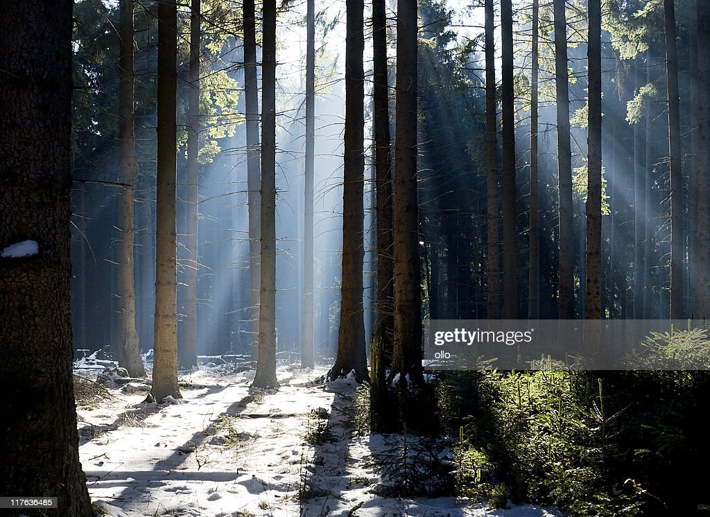 Foggy Winter forest in the morning : Stock Photo