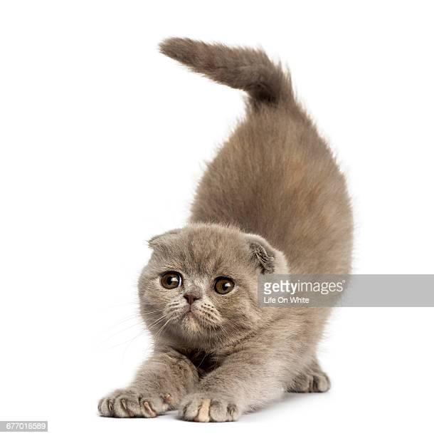 Foldex kitten stretching isolated on white