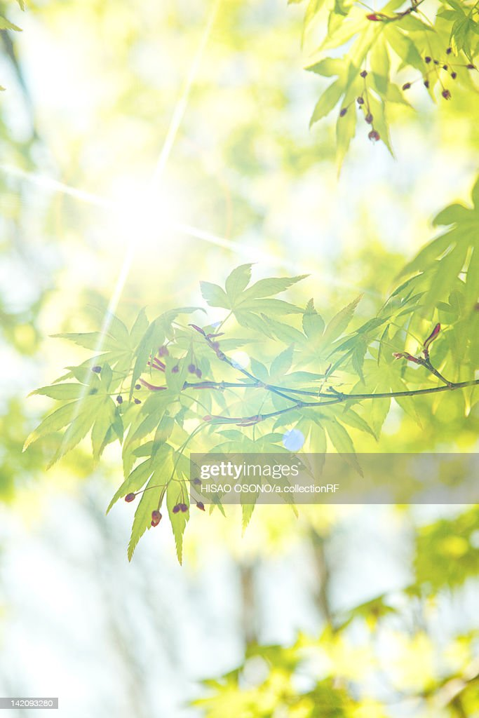Foliage and Sunlight : Stock Photo