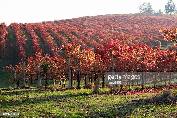 Végétation luxuriante à Lambrusco vineyard. Castelvetro de Modena. L'Italie.
