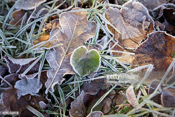 Foliage with hoarfrost on a meadow Autumn mood in the nature reserve Biesenthaler Becken on November 13 2016 in Biesenthal Germany