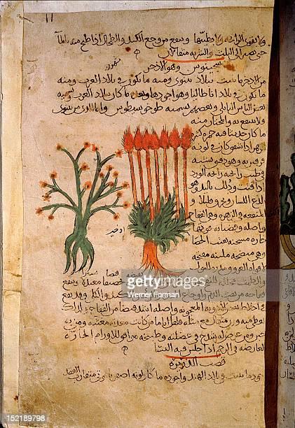 Folio 11r of the Arabic version of Dioscorides De Materia Medica Cymbopogon schoenanthus Islamic 987 990 Samarkand