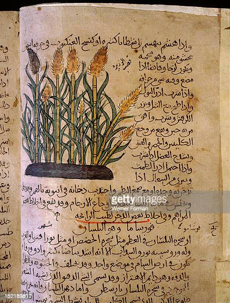 Folio 11v of the Arabic version of Dioscorides De Materia Medica Acorus calamus Islamic 987 990 Samarkand