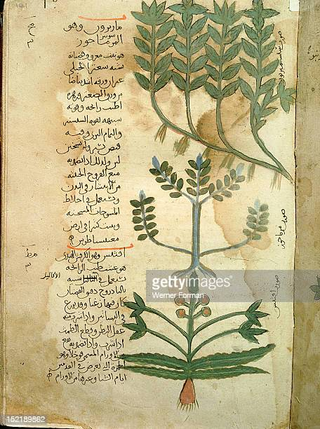Folio 121r of the Arabic version of Dioscorides De Materia Medica Origanum vulgare and Ocimum basilicum Islamic 987 990 Samarkand