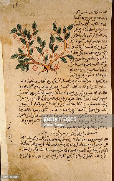 Folio 19r of the Arabic version of Dioscorides De Materia Medica Pistacia lentiscus Islamic 987 990 Samarkand