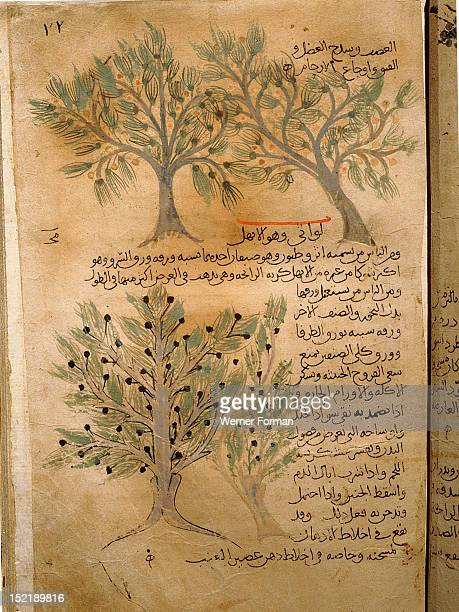 Folio 22r of the Arabic version of Dioscorides De Materia Medica Juniperus sabina Islamic 987 990 Samarkand