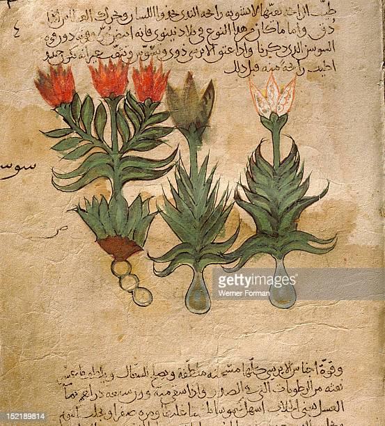 Folio 4r of the Arabic version of Dioscorides De Materia Medica Iris germanica Islamic 987 990 Samarkand